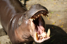 The Pygmy Hippopotamus Is A Sm...