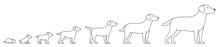 Stages Of Dog Growth Set. From Puppy To Adult Dog. Animal Pets. Labrador Retriever Grow Up Animation Progression. Pet Life Cycle. Outline Contour Line Vector Illustration.