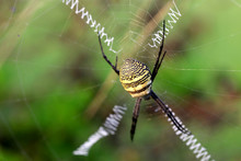 Close Up View Of Spider On The...