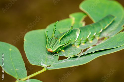 Image of Caterpillar of common nawab butterfly (Polyura athamas) or Dragon-Headed Caterpillar on nature background Canvas Print
