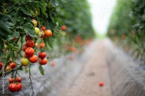 Fotomural Champs de tomates sous serre dans les Landes