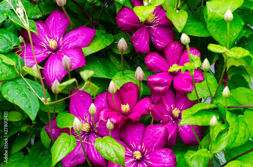 Pink clematis flowers on bush with water droplets after rain