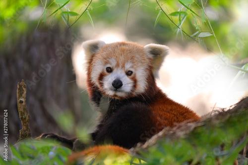 Poster de jardin Panda Portrait de panda roux dans un arbre