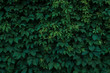 Fresh green leaves covering the wall. Natural green background from young green leaves.