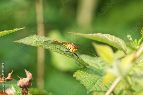 Obraz na plátne dragonfly on leaf, Close up of a Common Darter Dragonfly, Sympetrum striolatum