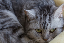Close-up Of A British Cat. Yel...
