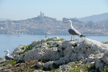 Seagull In A Rock With The Sea And The Cathedral Notre Dame De La Garde In Background