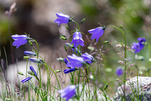 Wild Bluebells In The Mountains In Summer