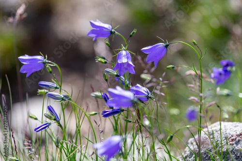 Wild bluebells in the mountains in summer Canvas Print