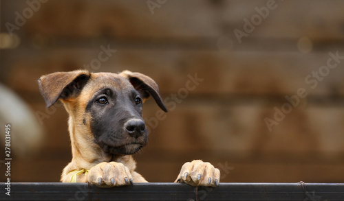 Fotografía  Cute puppy, belgian shepherd malinois dog, portrait of a puppy