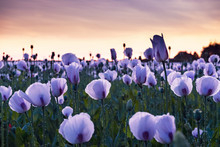Field Of Purple Poppies At Sunset