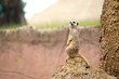 Alert Meerkat