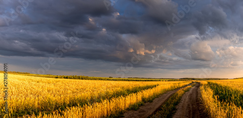 Poster Miel Field with young golden wheat or rye in summer sunny day with cloudy sky.