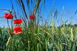 Mohnblumen und Gräser in einem Getreidefeld in Nahaufnahme vor blauem Himmel