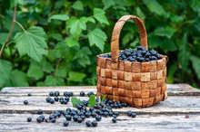 Freshly Picked Blackcurrant Berries In Vintage Wicker Basket On Old Wooden Boards