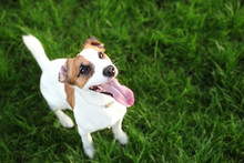 Purebred Jack Russell Terrier Dog Outdoors On Nature In The Grass On A Summer Day. Happy Dog ​​sits In The Park. Jack Russell Terrier Dog Smiling On The Grass Background. Parson Russell Terrier