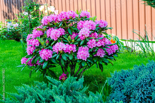 Leinwand Poster Rose blooming rhododendron bush in garden. Photo