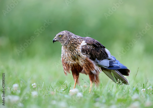 The male The western marsh harrier (Circus aeruginosus) sits on the ground among thick grass Wallpaper Mural