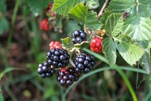 Delicious Looking Blackberries Ripening On A Bush