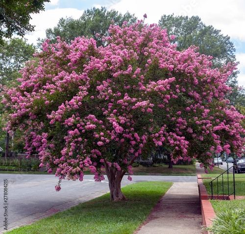 Keuken foto achterwand Bomen Raspberry colored crepe myrtle tree in Virginia residential neighborhood. Crape or crepe myrtles are chiefly known for their colorful and long-lasting flowers which occur in summer.
