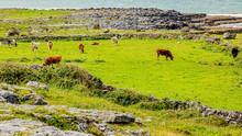 Cattle Grazing Among Stone Fen...