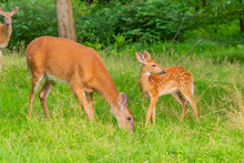 Mother And Baby Deer - Fawn An...