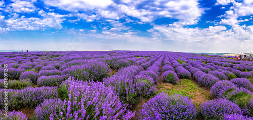 Fototapety, obrazy: Beautiful lavender fields on a sunny day. lavender blooming scented flowers. Field against the sky. Moldova.