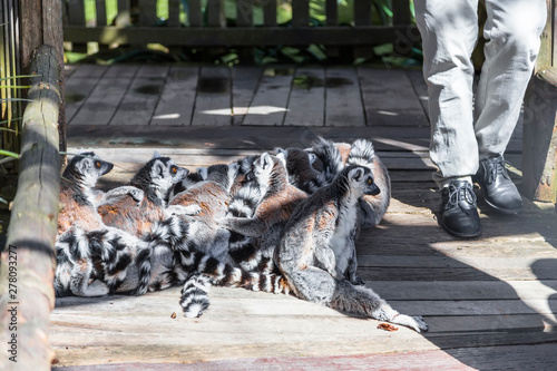 Poster Maroc The lemur family gathered in a pile on a wooden walkway