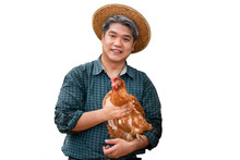 Asian Male Farmers, Carrying Hens Which He Fed For Eggs On The Farm On White Isolated Background, To Chicken Farm Concept.