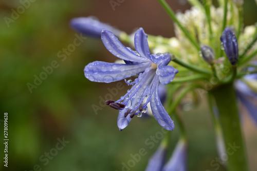 Canvas Print Flower Agapanthus africanus Blue