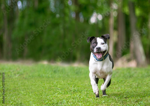 A Hy Black And White Pit Bull