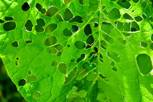 Close-up Of Green Leaves With Pest Holes. Abstract Natural Background.
