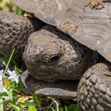 Gopher Tortoise (Gopherus Poly...