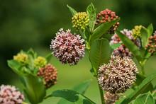 Blooming And Budding Milkweed Plants