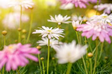 randki azjatyckie kwiaty wiśni kolonialne rytuały randkowe