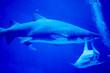 canvas print picture - Blurry photo of a Tiger Shark in a blue aquarium. Big teeth of a Tiger Shark