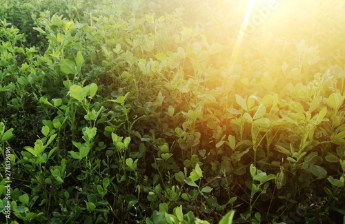 Green alfalfa Canvas Print