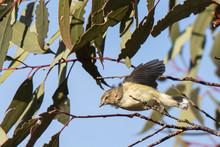 "Weebill (Smicrornis Brevirostris) Race ""occidentalis"".  Walpeup, Victoria, Australia"