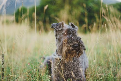 Obraz Kerry blue terrier stesa nell'erba - fototapety do salonu