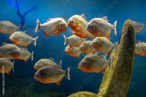 Valokuva  group of red piranha fishes in underwater stones at blue gradient background