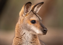 Alert Red Necked Wallaby Portrait