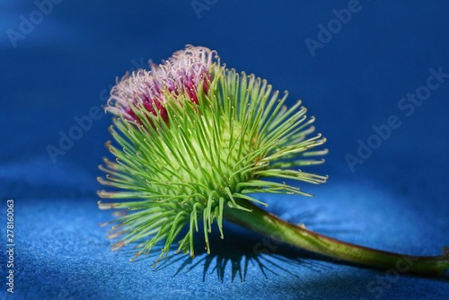 Tablou Canvas big spiny red green burdock bud lies on a blue table