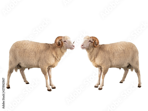 Papiers peints Sheep two white ram isolated