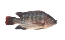 Tilapia Fish Isolated On White...