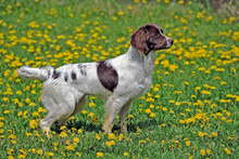 English Springer Spaniel Standing In Spring Meadow , Alert