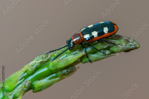 leaf beetle -Common Asparagus Beetle - Crioceris asparagi Tableau sur Toile