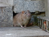 Fototapeta Zwierzęta - Brown rat