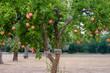 canvas print picture - Granatapfelbaum