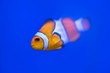 canvas print picture - Clown fish on blue sea background close up