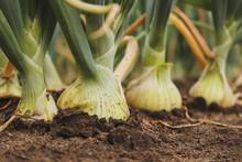 Closeup Of Fresh, Organic White Onions Growing In The Garden